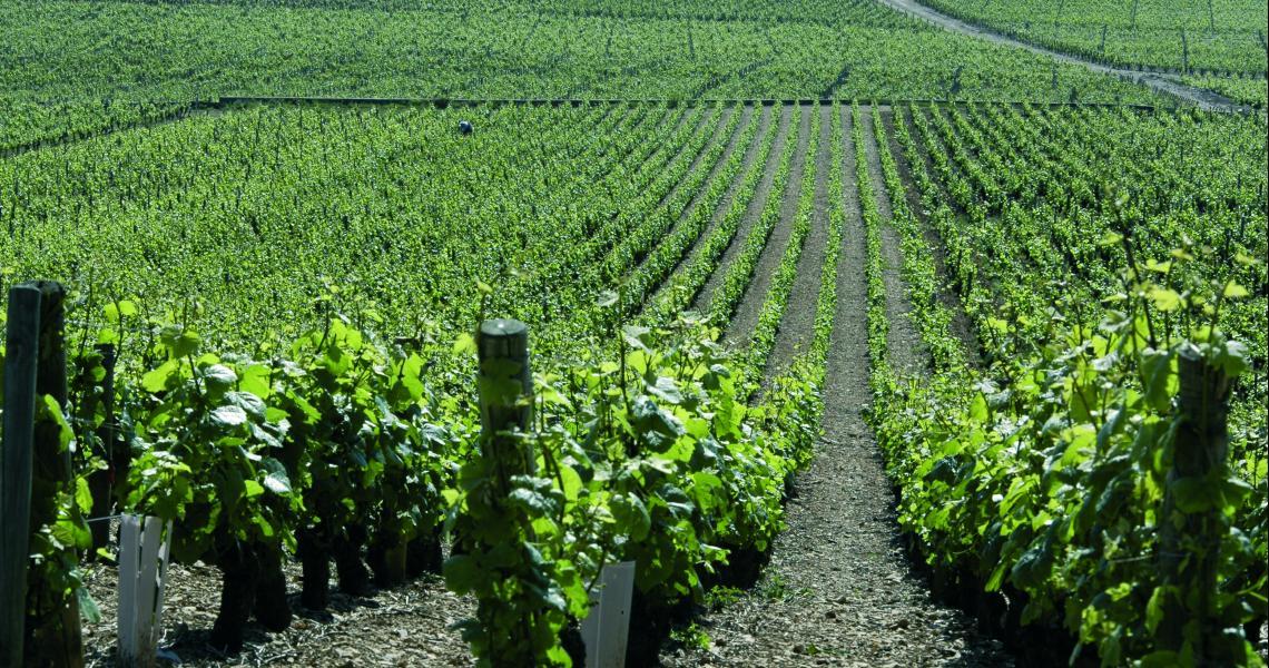 Vignes - Crédit photo : OT de Dijon - Atelier Demoulin