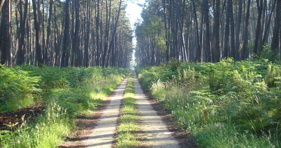 La forêt des Landes