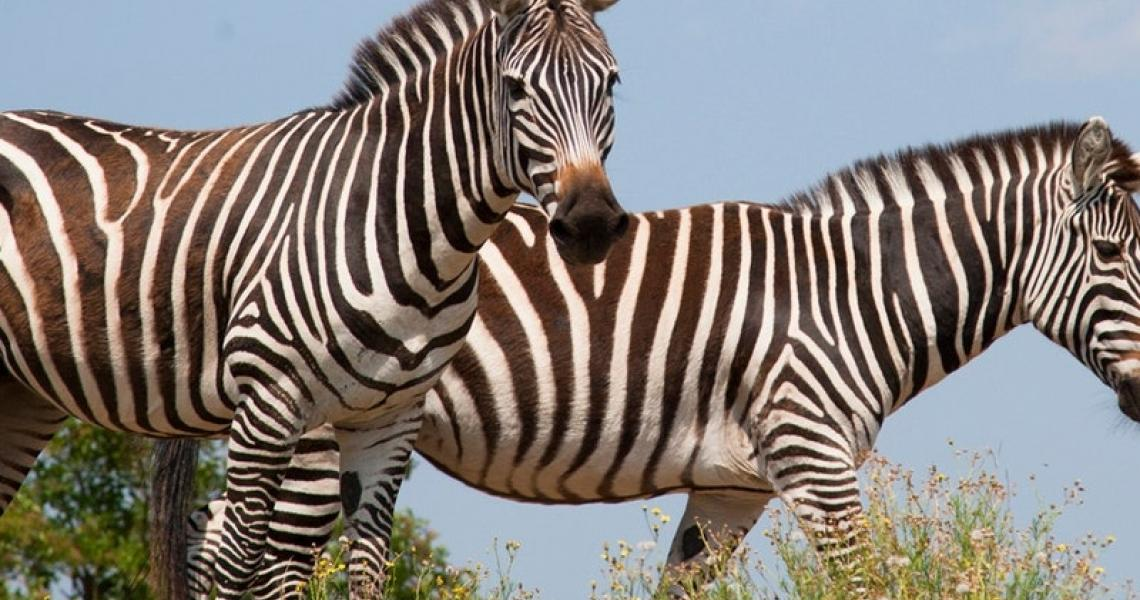 Safari de peaugres 1
